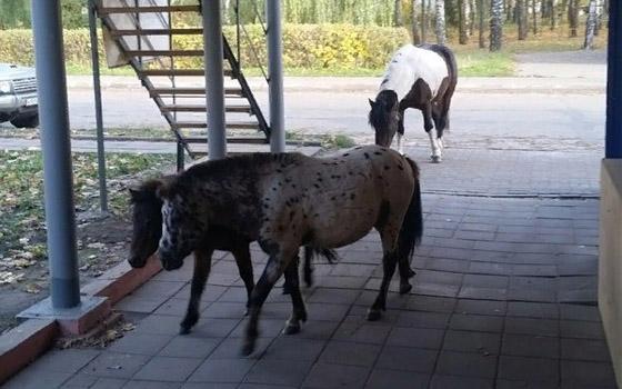 По Брянску и Путевке разгуливают бесхозные пони