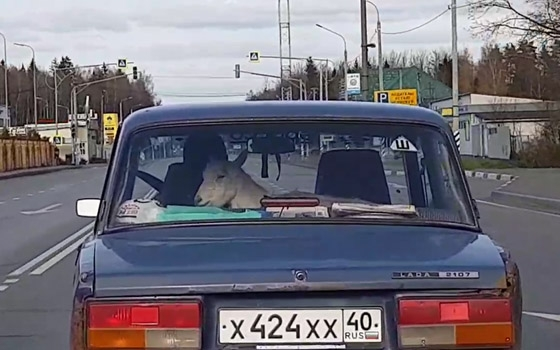 В Белых Берегах сняли на видео козу в «ВАЗе»