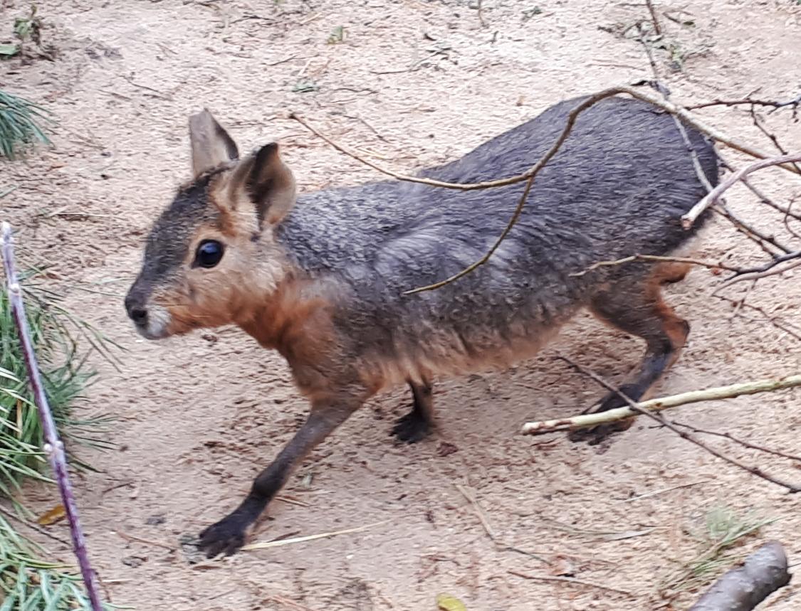 В Старооскольском зоопарке появились патагонские мары